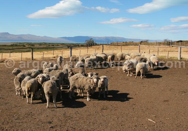 Moutons de Patagonie