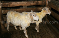 Moutons après la tonte