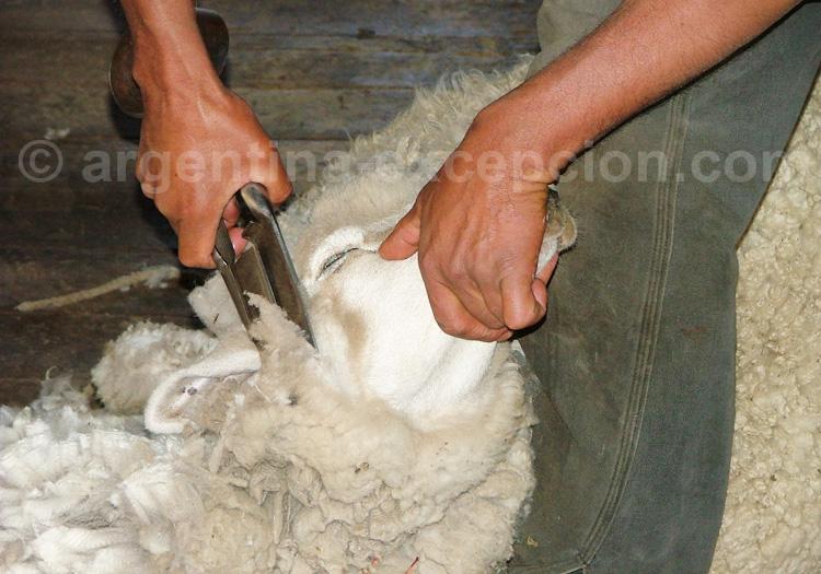 Tonte de mouton en Patagonie