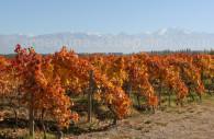 Pinot in Tupungato