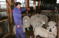 Troupeau de moutons en Patagonie
