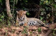 Yaguareté or Jaguar