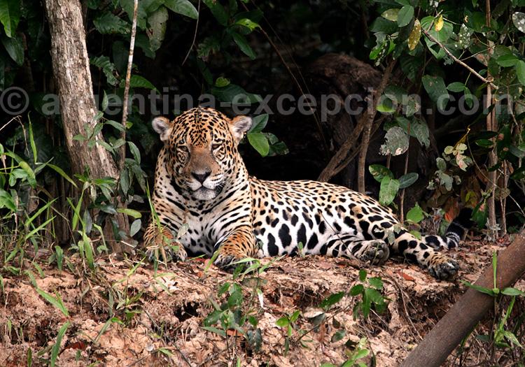 Yaguareté o Jaguar