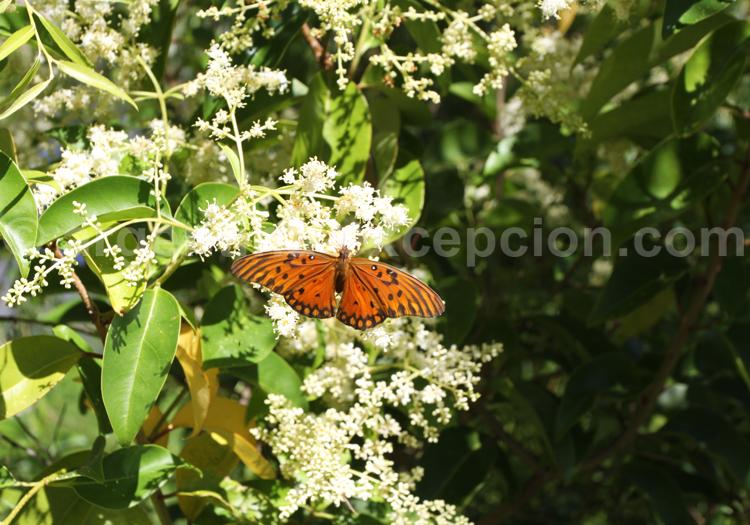 Agraulis vanillae, Heliconiidae