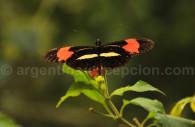 Heliconius erato, Heliconiidae