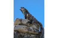 Iguane en Amazonie