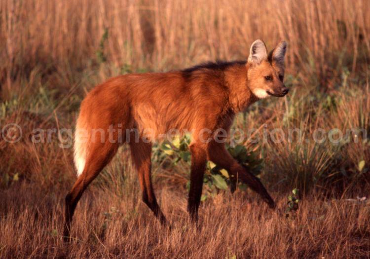 Loup à crinière