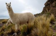 Alpaca Huacaya, Argentine. CC Wiwimedia