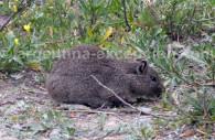 cobaye nain austral
