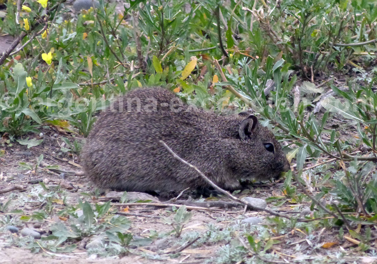 Cobaye nain austral, Argentine