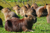 Capybara, Argentine