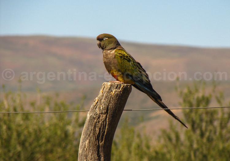 Conure de Patagonie