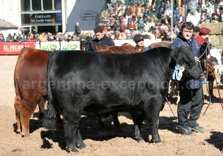 Exposition, vaches à La Rural avec Argentina Excepción