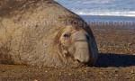 Eléphant de mer austral mâle