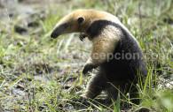 Fourmilier à collier, Argentine