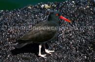 Huîtrier noir