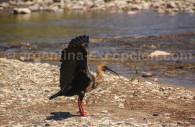 Ibis mandore