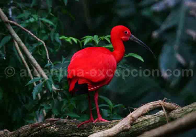 Ibis rouge. Ann Van Rossem