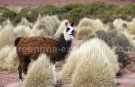 Lama, Argentine