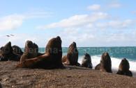 Lion de mer ou otarie à crinière