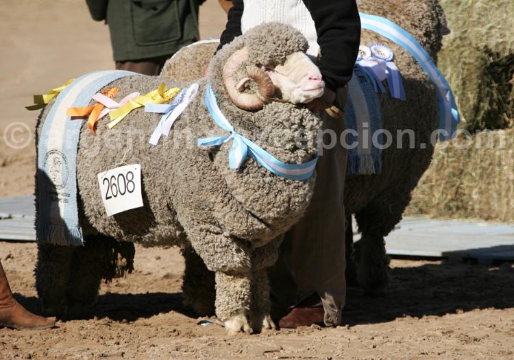 Mouton de Patagonie, La Rural de Buenos Aires avec Argentina Excepción