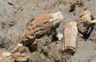 Petrified wood of Sarmiento