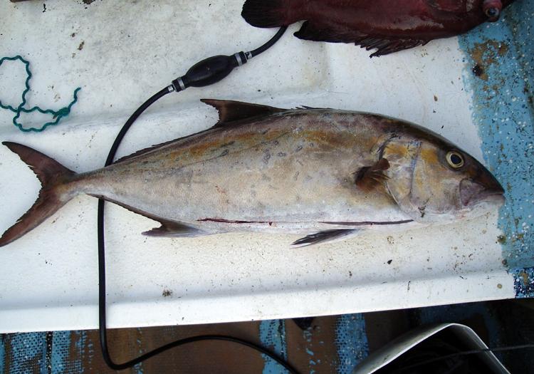 seriola peruana pez limon