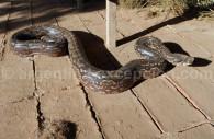 Serpents, Argentine