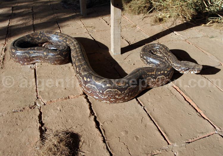 Boa constrictor, Argentine