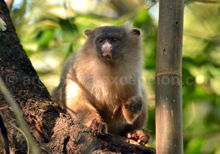 Saïmiri commun ou Singe-écureuil, Argentine