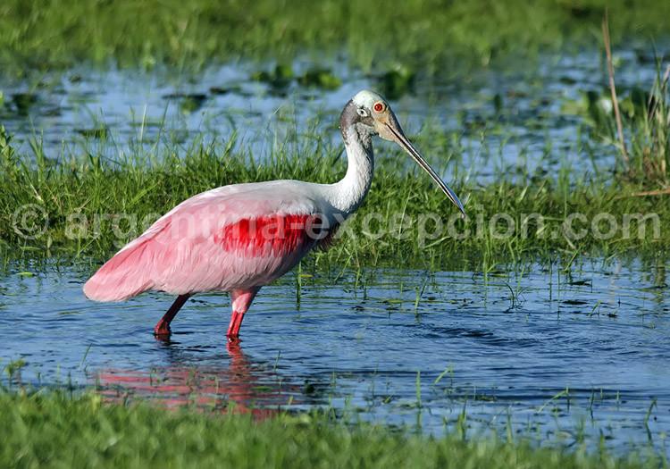 un oiseau - ajonc - le  8 mai  bravo Martine  Spatule-rosee-750x525