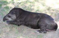 Tapir, Argentine