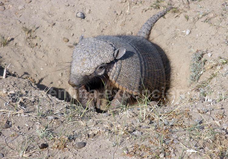 Pichi ou Tatou velu de Patagonie