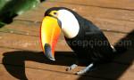 aras toucans conures