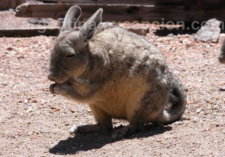 Viscache des montages, Argentine