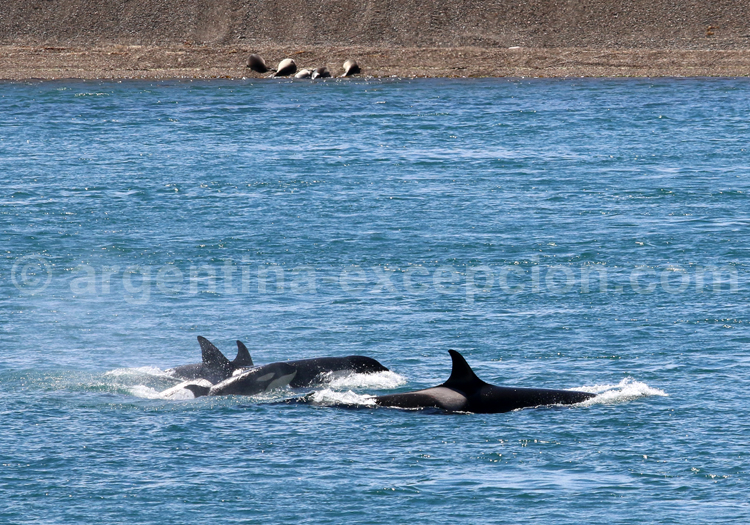 Orques à Valdès