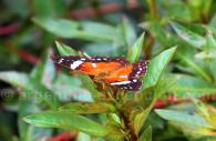 Anartia amathea roeselia