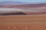 salar arizaro vigognes