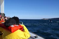 Baleine franche Patagonie
