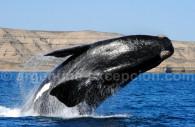 Saut de baleine à Valdès