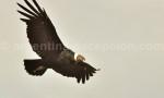 Condor des Andes. Condor Andino