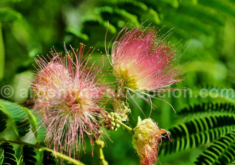 fleur argentine