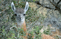 jeune guanaco