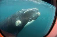 Observation d'une baleine depuis le Yellow Submarine