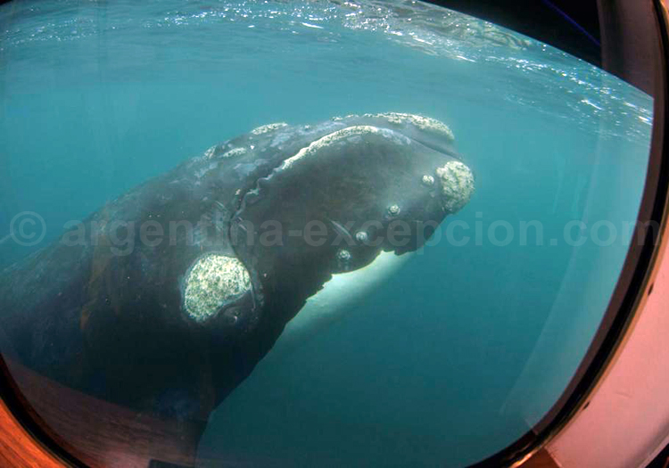Observation d'une baleine en Patagonie argentine