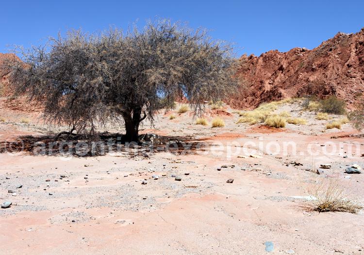 Acacia caven (Acacia caven, el espinillo, aromo, espino o churqui)