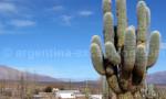 Cactus cardon