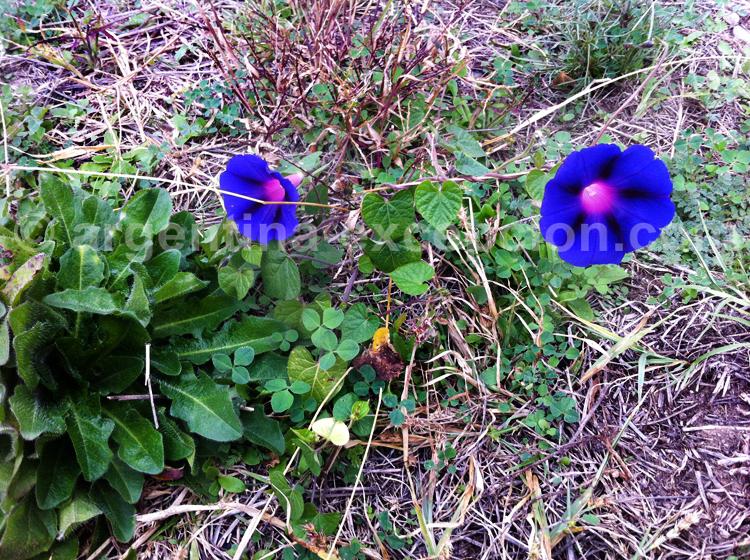 Volubilis, liseron bleu ou morning glory