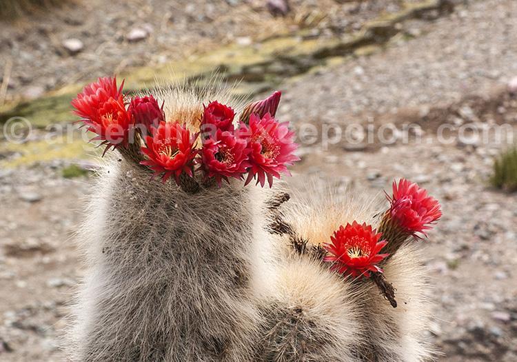 Echinocactus rettigii