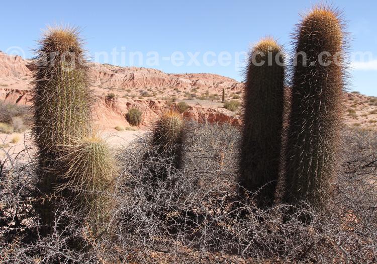 Grand cactus ou cactus Sacré